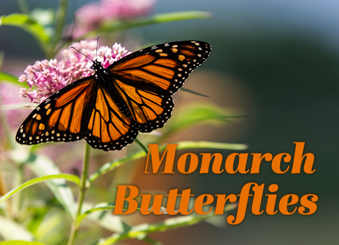Moarch Butterflies_slider