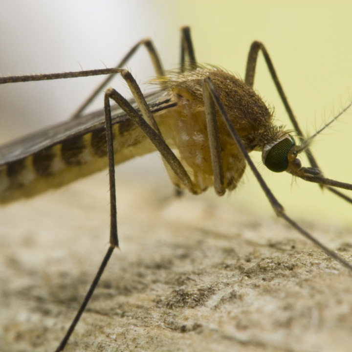 close up of culex mosquito