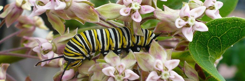 Monarch caterpillar banner crop