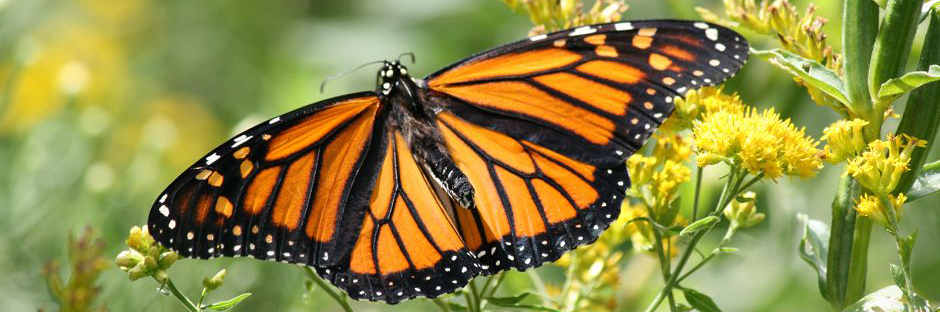 Monarch butterfly banner crop